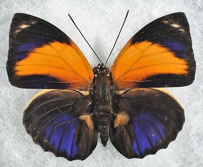 Insect/Butterfly/ Agrias pericles mauensis - Male Type III