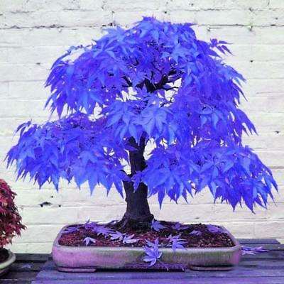 20*Rare Blue Maple Seeds Bonsai Plants Garden Home Tree Plant Decoration Seed