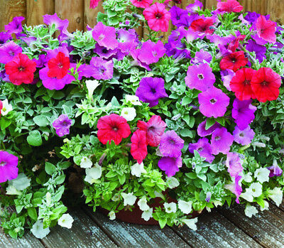 PETUNIA DWARF MIX - 1000 seeds - PETUNIA HYBRIDA NANA - Suitable for contai#1350