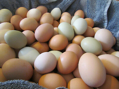 1 (One) Large Breed Chicken HATCHING SOLD PER EGG Great Layers+Rare Breeds FRESH