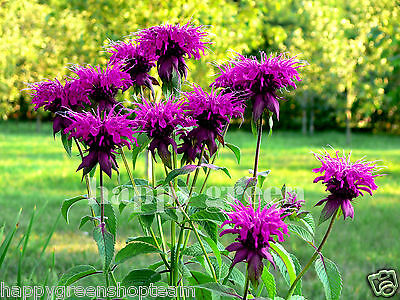 HERB - PURPLISH LILAC LEMON MINT - 1100 SEEDS - Monarda citriodora - FLOWER