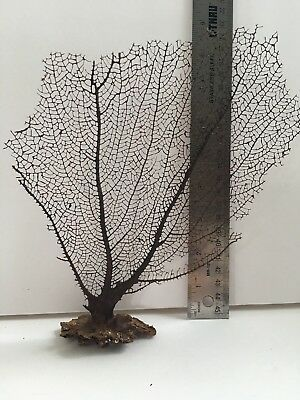 Natural Sea Fan Coral Free Standing