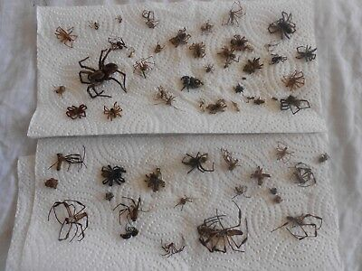 50 + Real dead Spiders Arachnids Assorted variety unlabeled Class Project