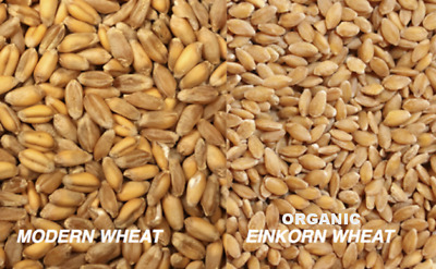 12 oz. pack Non GMO Organic Einkorn  Whole Grain Wheat Berries Cooking Sprouting