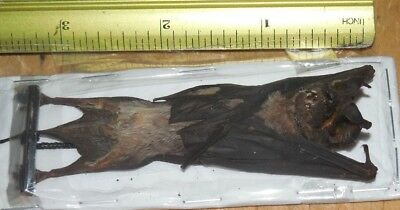Otomops Formosus Hanging Real Bat Indonesia Taxidermy