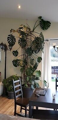 Split Philodendron Zimmerpflanze ca. 3,5 m gross!!!!!