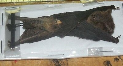 Pipistrellus Imbricatus Brown Pipistrelle Hanging Real Bat Indonesia Taxidermy