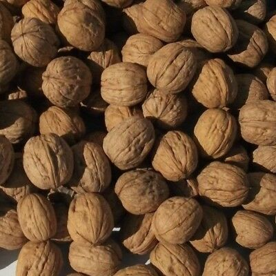 5 Lbs New Crop In-Shell English Walnuts From Our Orchard In N Calif Chandler's
