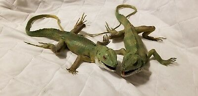 "2 IGUANA's AAA LIZARD FIGURE 13"" Hard Rubber, Life size, Realistic Reptile, Toy"