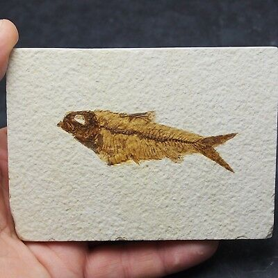 85mm Fossil Fish Knightia eocaena Eocene priod Fossilized Fossilien Wioming USA