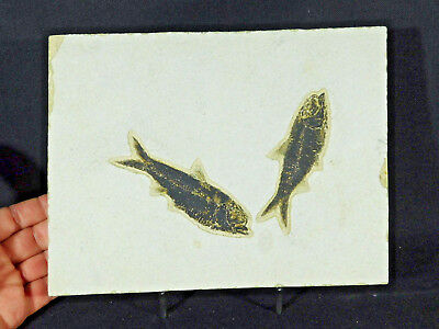 TWO! 100% Natural 50 Million Year Old Knightia Fish Fossils! Wyoming 1925gr e