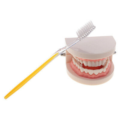 1:1 Human Mouth Teeth Medical Model w/Toothbrush Dental Caring Learning