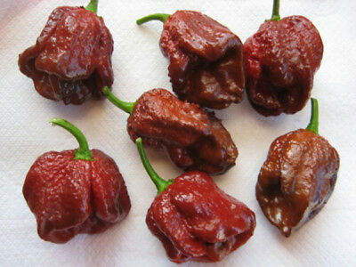 Vegetable Hot Chilli Pepper 7 Pot Douglah Chocolate 10 Seeds Very Hot #4527