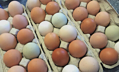7 Large Breed Chicken HATCHING EGGS Great Layers+Rare Breeds FRESH Barnyard Mix