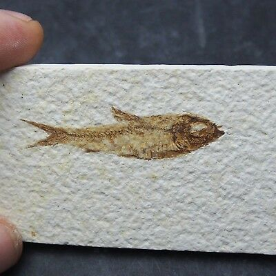 54mm Fossil Fish Knightia eocaena Eocene priod Fossilized Fossilien Wioming USA