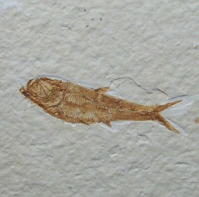 42mm Fossil Fish Diplomystus dentatus Eocene priod Fossilized Fossilien Wioming