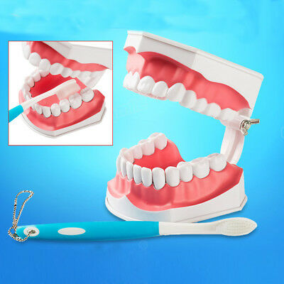 Dental Teeth Education Teaching Model Adult Oral Standard Typodont Removable UK