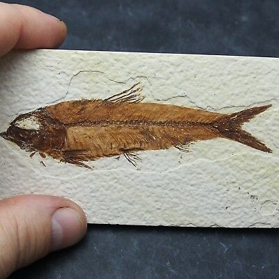 102mm Fossil Fish Knightia eocaena Eocene priod Fossilized Fossilien Wioming USA