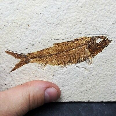 100mm Fossil Fish Knightia eocaena Eocene priod Fossilized Fossilien Wioming USA