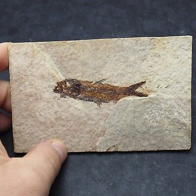 68mm Fossil Fish Knightia eocaena Eocene priod Fossilized Fossilien Wioming