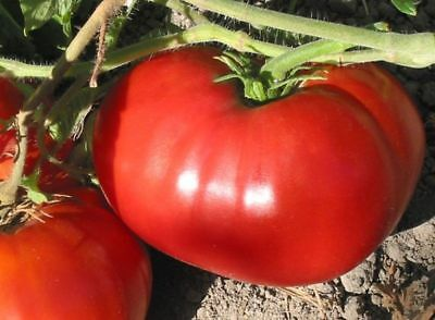 Red Giant Tomato from Uzbekistan - 10+ seeds - HEIRLOOM from UZBEKISTAN!