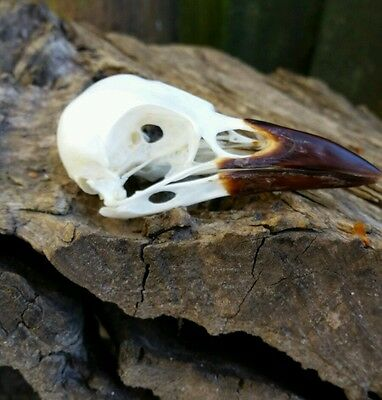 Crow Skull Corvid Taxidermy Education Collection Steampunk Gothic Vet Genuine