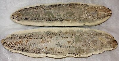 Antique Fossil Fish 12 Inches Long 2 Halves