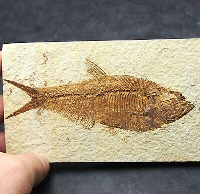 139mm Fossil Fish Diplomystus dentatus Eocene priod Fossilized Wioming USA