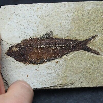 108mm Fossil Fish Knightia eocaena Eocene priod Fossilized Fossilien Wioming USA
