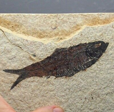 117mm Fossil Fish Knightia eocaena Eocene priod Fossilized Fossilien Wioming USA