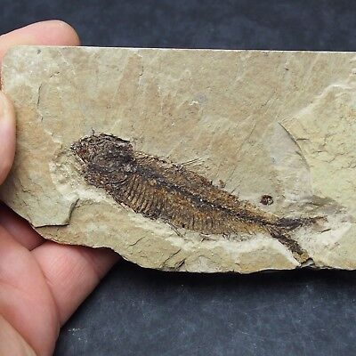 84mm Fossil Fish Knightia eocaena Eocene priod Fossilized Fossilien Wioming USA