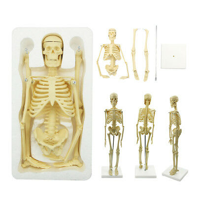 Anatomy Medical Learn Skeleton Model Stand Poster Aid Anatomical Human Model