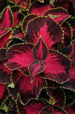 JustSeed - Flower - Coleus - Chocolate Covered Cherry - 10 Pelleted Seeds