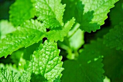 USDA Organic Catnip | Coarse or Powdered, Very Potent!!! | Buy a Sample or Bulk!