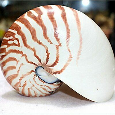 13cm Natural Pearly Screw Conch Shells Coral Collectible Sea Snail Decor UK FAST