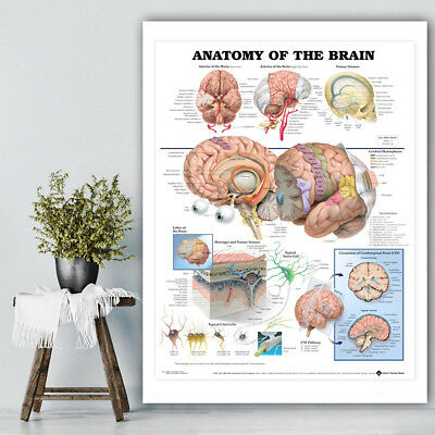 Human Anatomy of the Brain Poster Anatomical Chart Body Poster Medical