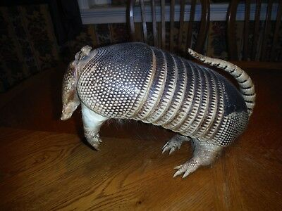 Real Taxidermy Large 9 Banded Armadillo. Mounted Standing on Hind Legs Excellent