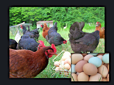 12 Large Breed Chicken HATCHING EGGS Great Layers+Rare Breeds FRESH Barnyard Mix