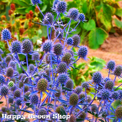 SEA HOLLY BLUE - Eryngium planum - 350 seeds - PERENNIAL FLOWER