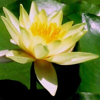 1 X Moorei Yellow   Uk Hardy Water Lillies / Water Plants / Pond Plant