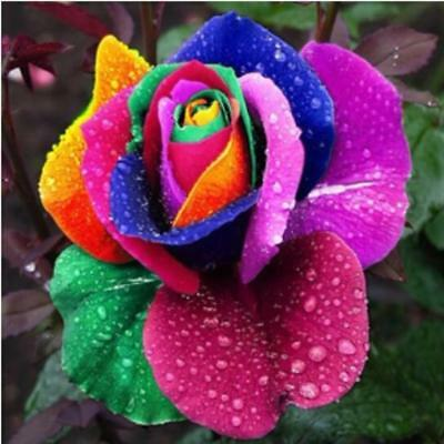 200Seeds Colorful Rainbow Rose Flower Seeds Home Garden Decor Plants Multi-Color