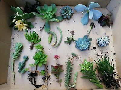 15 pcs Assorted mixed variety cactus cacti succulent cuttings