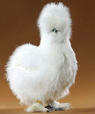 6 - Guaranteed Fresh Hatching Eggs: SILKIE Black, White, Blue, Buff (mixed lot).