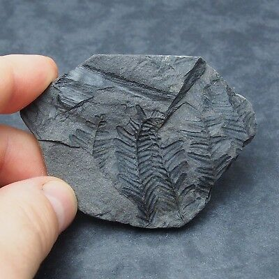 Fossil Plant Pecopteris polymorpha Carboniferous Fosilies France