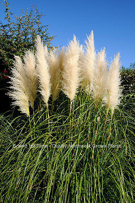White Pampas Grass -  Cortaderia Selloana - 6 potted fully rooted live clumps