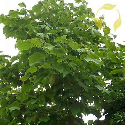 PRINCESS TREE Paulownia Tomentosa - 200 SEEDS. FREE S&H