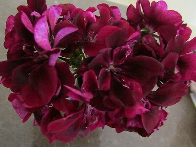 Geranium Pelargonium  Plum Ivy Plant $7    Postage Any 3 For $8.00