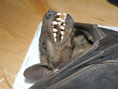 Rousettus Leschenaulti Real Hanging Bat Indonesian Taxidermy