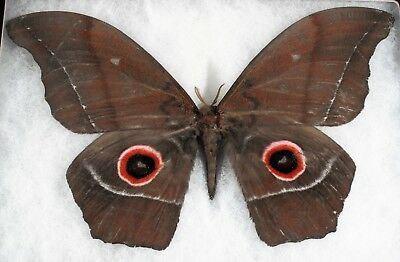 Insect/Moth/ Moth ssp. - Male 7""