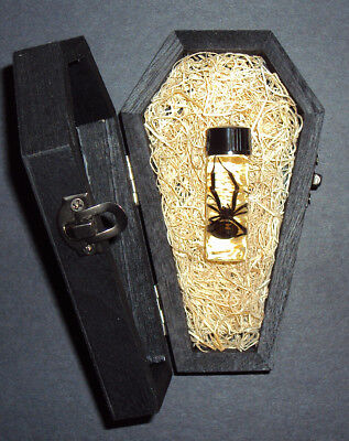 Real Female Black Widow Spider in a Black Wooden Coffin! Nice Quiet Gothic Pet!